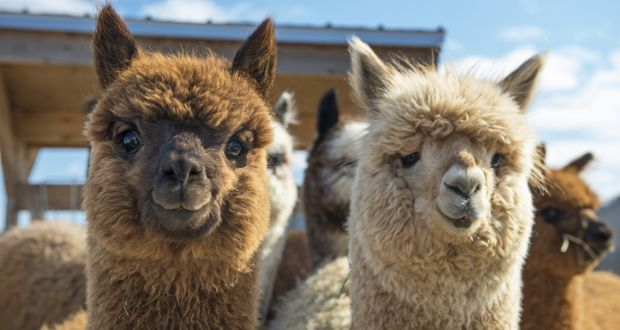 Irish Times: Irish scientist optimistic alpaca can be ally in the fight against Covid-19